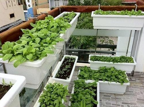 trồng rau bằng thùng xốp
