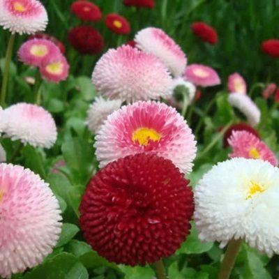 Giá hạt giống hoa cúc Bellis Heaven