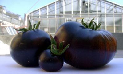 cà chua đen ngon