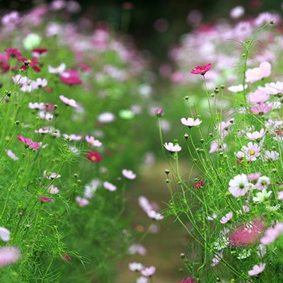 Bán hạt giống hoa cánh bướm tại hà nội