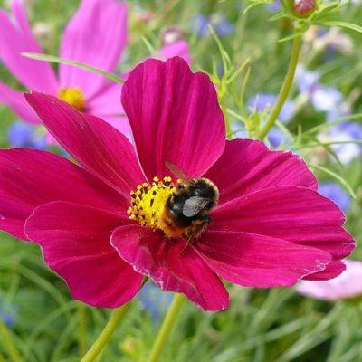 Mua hạt giống hoa cánh bướm ở hà nội