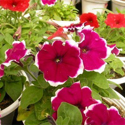 Hạt giống hoa dạ yến thảo viền rủ