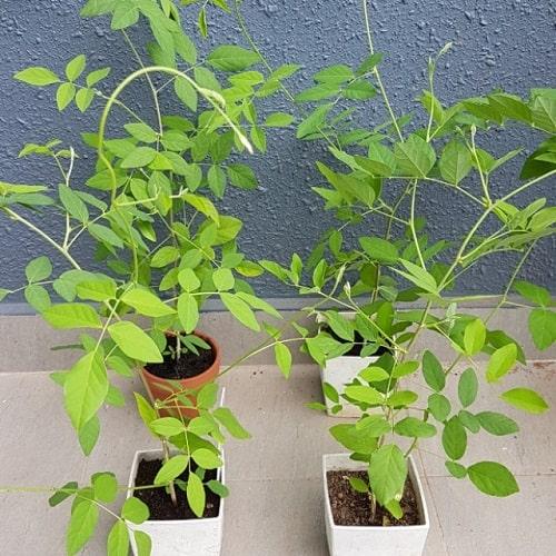 cách gieo hạt giống hoa đậu biếc