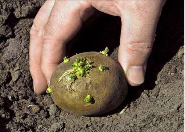 củ giống khoai tây khi nảy mầm