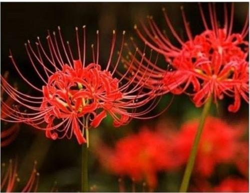hat giong hoa bi ngan