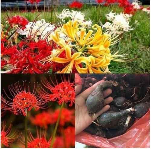 củ hạt giống hoa bỉ ngạn