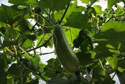 hạt giống bí đao chanh