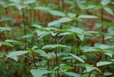 hạt giống rau đay đỏ ngon