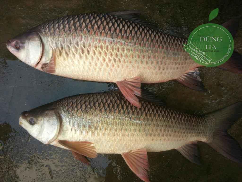 Cá trôi>1kg