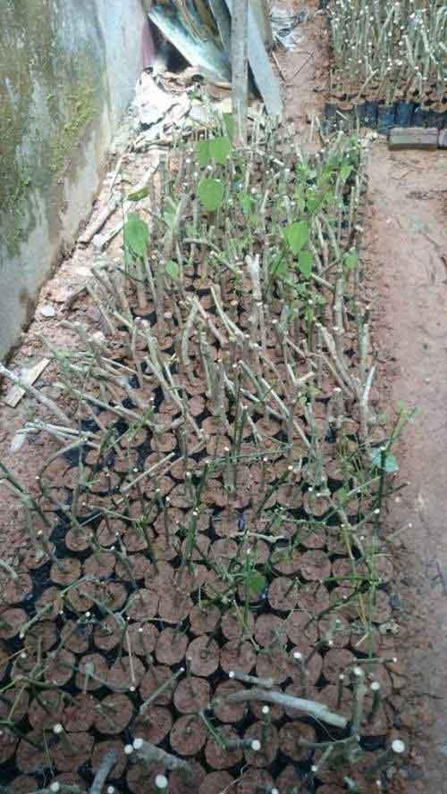 cách trồng rau bò khai
