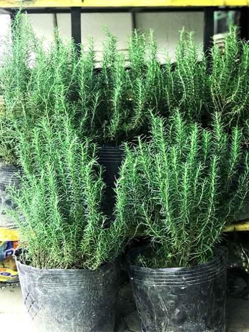 Cây Hương Thảo Rosemary