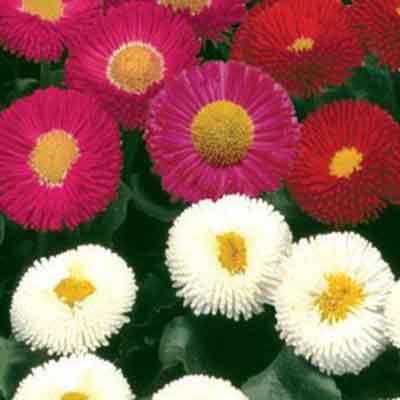 Hạt giống hoa cúc galaxy