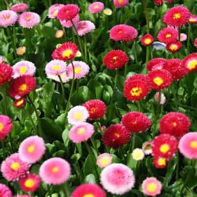 Bán hạt giống hoa cúc galaxy ở hà nội
