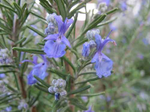 Hạt giống cỏ hương thảo (rosemary)