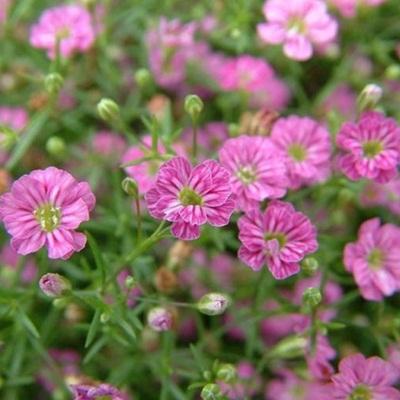 Bán hạt giống hoa baby hồng tại hà nội