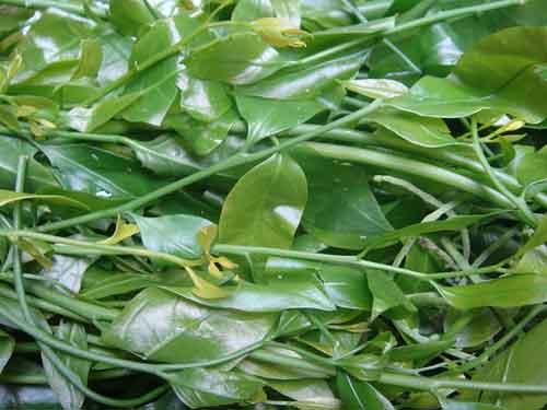 Bán rau sắng thực phẩm sạch giàu chất dinh dưỡng