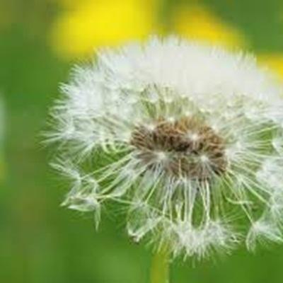 Mua hạt giống hoa bồ công anh ở hà nội