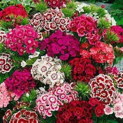 Hạt giống hoa cẩm chướng chùm