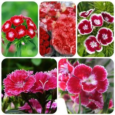 Mua hạt giống hoa cẩm chướng chùm ở hà nội