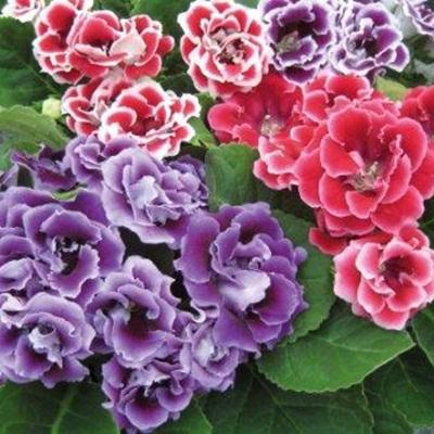 Bán hạt giống hoa cẩm nhung tại hà nội