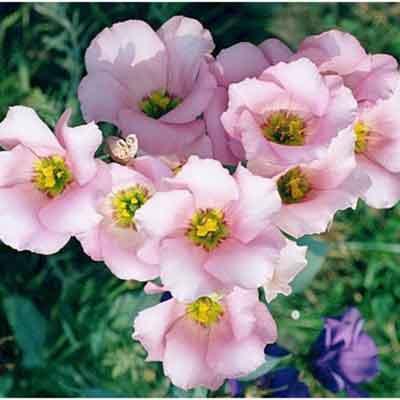Bán hạt giống hoa dạ yến thảo ở hà nội