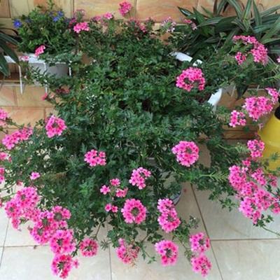 Giá hạt giống hoa cúc indo