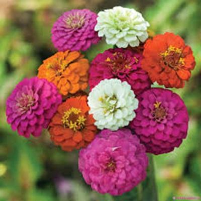 Bán hạt giống hoa cúc lá nhám ở hà nội