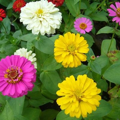 Giá hạt giống hoa cúc lá nhám