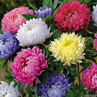 Hạt giống hoa cúc tây-Cúc đài loan MIX gói 50 hạt