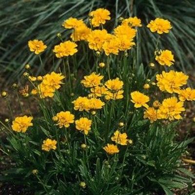 Bán hạt giống hoa cúc tiểu quỳ ở hà nội