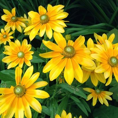 Bán hạt giống hoa cúc xòe tại hà nội