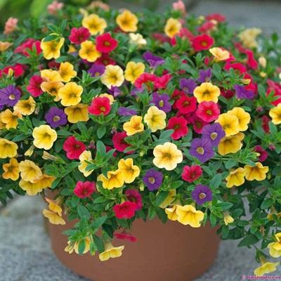 Mua hạt giống hoa dạ yến thảo ở hà nội