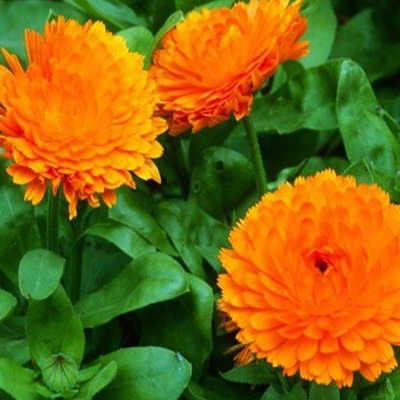 Hạt giống hoa cúc xuxi