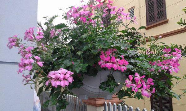 Mua hạt giống hoa phong lữ thảo rủ ở hà nội