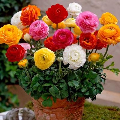 Mua hạt giống hoa hồng ri tại hà nội