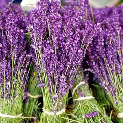 Bán hạt giống hoa lavender ( oải hương )