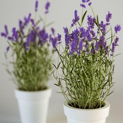 Mua hạt giống hoa lavender ( oải hương)
