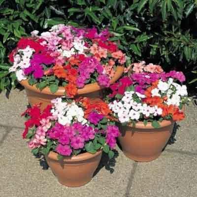 Bán hạt giống hoa mai địa thảo tại hà nội