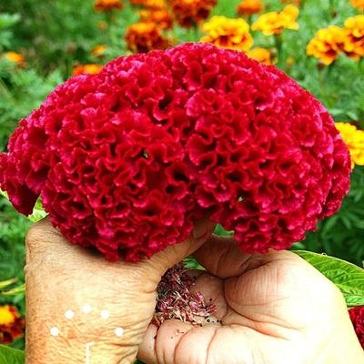 Hạt giống hoa mào gà búa