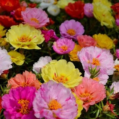 Bán hạt giống hoa mười giờ ở hà nội