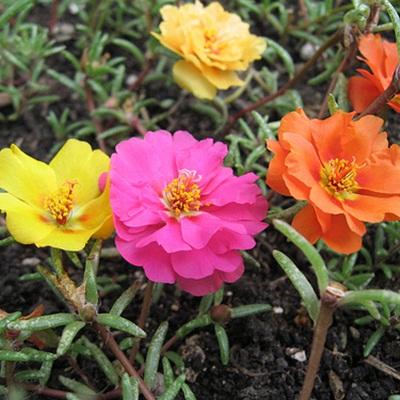 Mua hạt giống hoa mười giờ tại hà nội