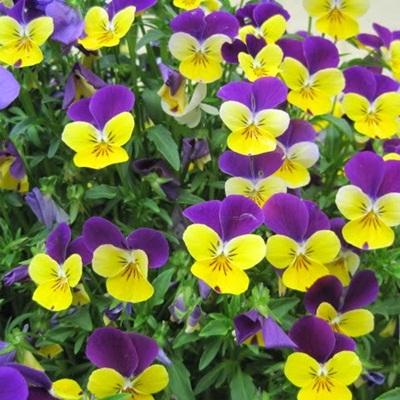Mua hạt giống hoa pansy rủ tại hà nội