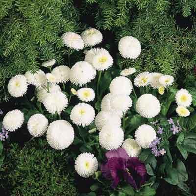 Hạt giống hoa cúc Bellis Tasso-cúc anh