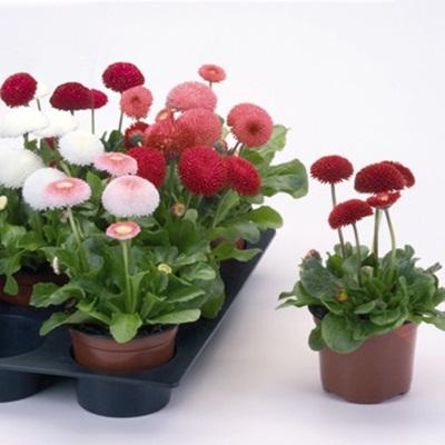 Bán hạt giống hoa cúc Bellis Tasso