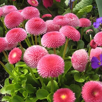 Mua hạt giống hoa cúc Bellis Tasso ở hà nội