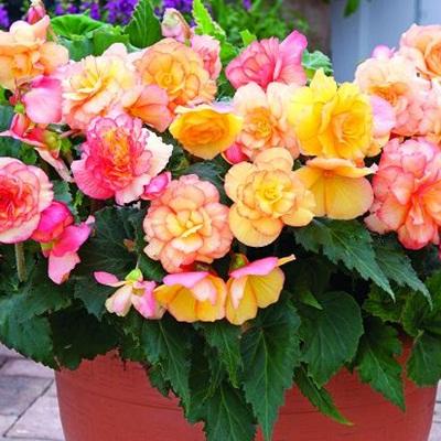 Bán hạt giống hoa thu hải đường tại hà nội