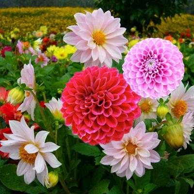 Mua hạt giống hoa thược dược ở hà nội