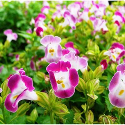 Hạt giống hoa tố liên - mắt nai