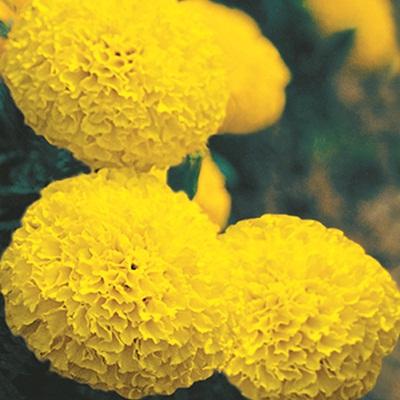 Hạt giống hoa cúc vạn thọ kim cương