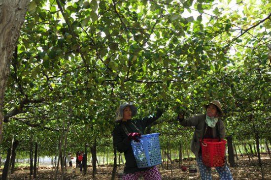 Vườn táo ninh thuận trĩu quả thu hút khách du lịch